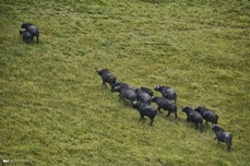 Water Buffalo from the air